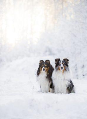 shelties in snow