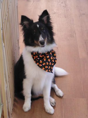 Sheltie puppy in halloween bandana