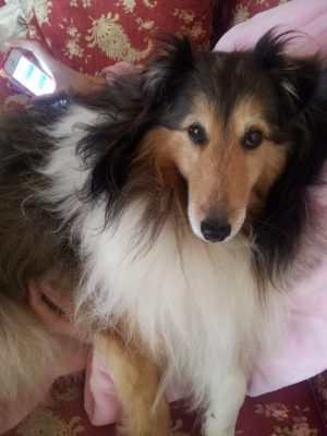 Sheltie in owners arms