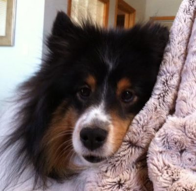 Sheltie face when you wake up