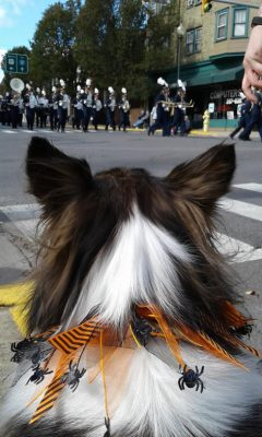 Sheltie watching parade