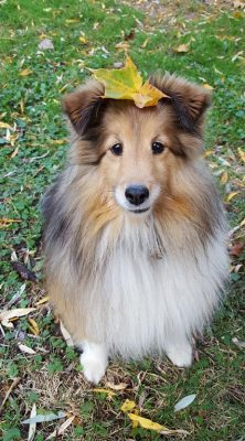 Sheltie with leaf on head