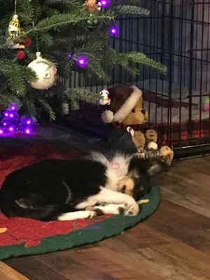 Sheltie puppy waiting for Santa