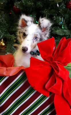 Sheltie puppy with christmas present