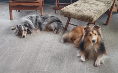 Shelties napping