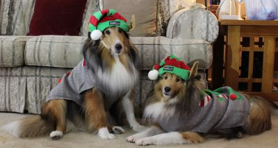 Unhappy shelties in elf costumes