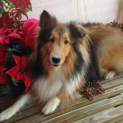 Sheltie with Christmas decorations