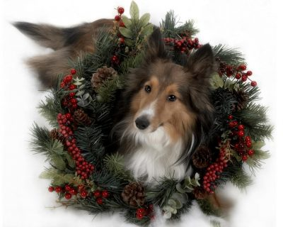 Sheltie wearing wreath
