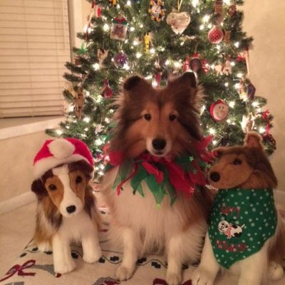 Sheltie at christmas