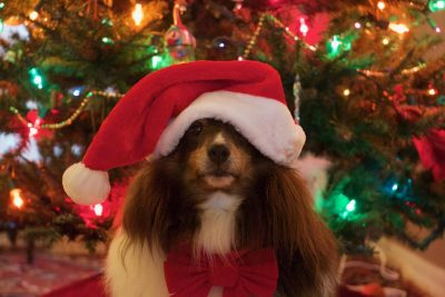 Sheltie with santa hat