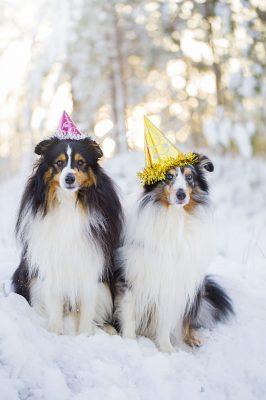 Shelties in party hats