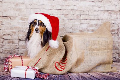 Sheltie in santa's bag