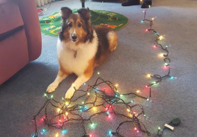 Sheltie and christmas lights