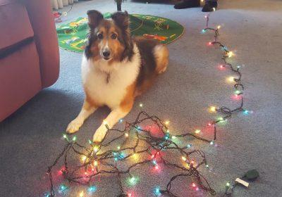 Sheltie and christmas lights