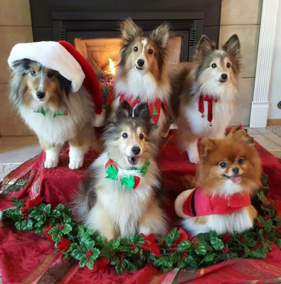 Shelties posing for holiday photo
