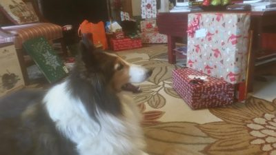 Sheltie on Christmas morning