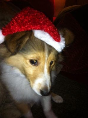 Sheltie puppy in holiday hat