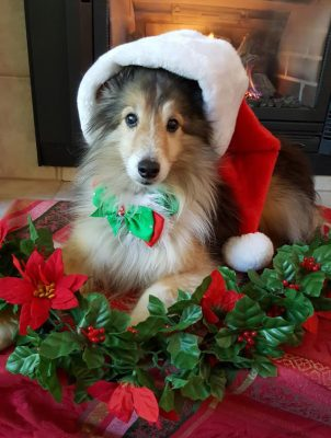 Sheltie on Christmas