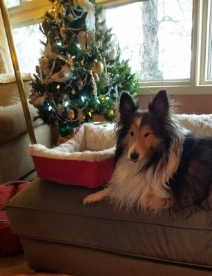 Sheltie past Christmas