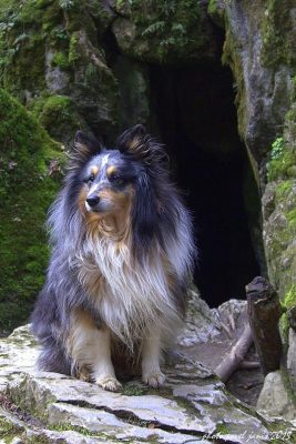 Sheltie in the woods