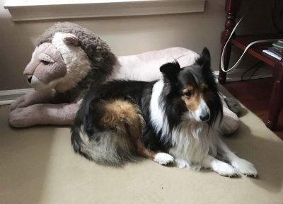 Sheltie and lion suffed animal