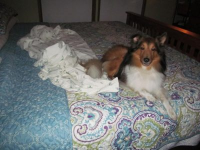 Sheltie making bed