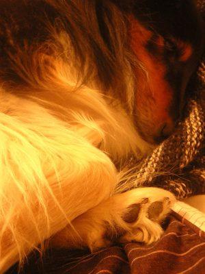 Sheltie sleeping