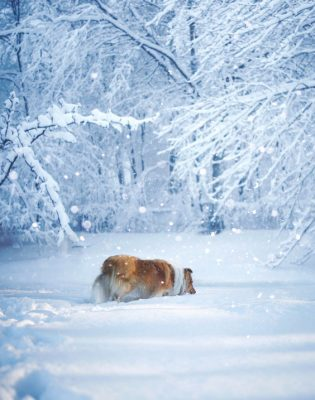 Sheltie in winter