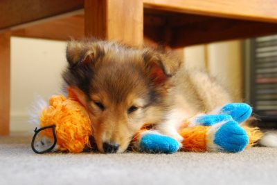 Sheltie puppy sleeping on toy