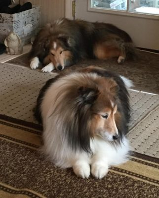 Shelties napping by door