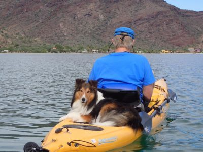 Sheltie on water