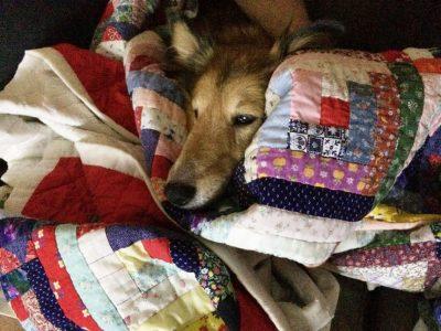 Sheltie in a blanket