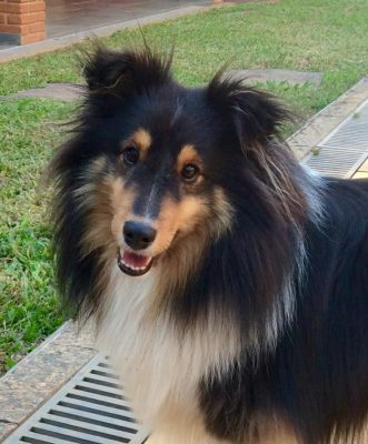 Sheltie in Brazil