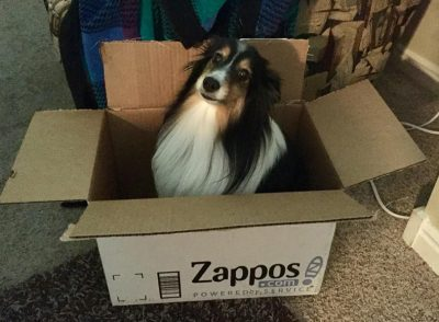 Sheltie in a box