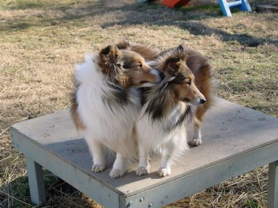 Shelties standing next to each other