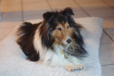 Sheltie in a bed