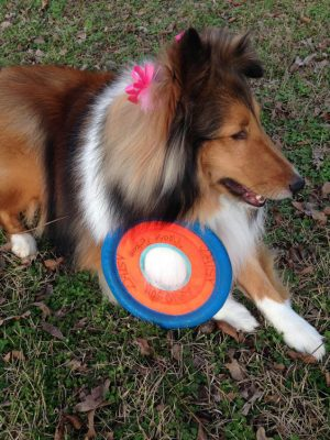 Sheltie and frisbee