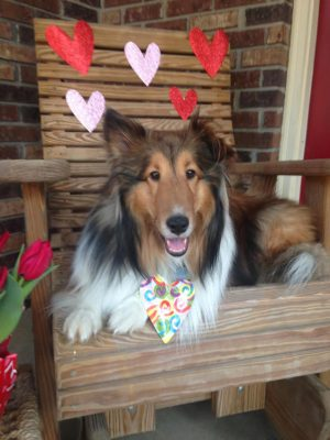 Sheltie and valentine hearts