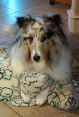 Sheltie on pillow