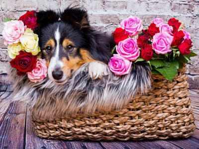 Sheltie laying in roses
