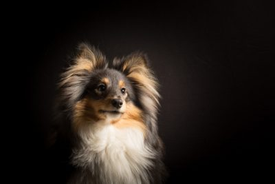 Sheltie with fuzzy ears