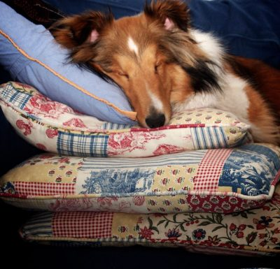Sheltie sleeping on stack of pillows