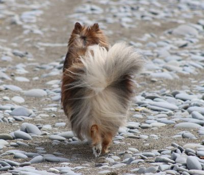sheltie trotting away