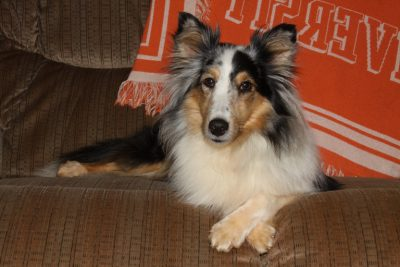 Sheltie with paws crossed