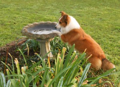 Sheltie on bird bath