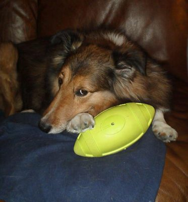 sheltie cuddling with football