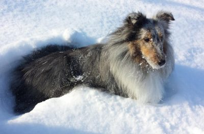 Sheltie standing in snow