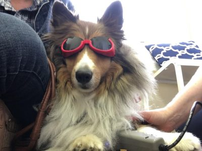 Sheltie wearing shades