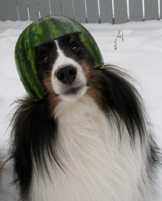sheltie with watermellon on head