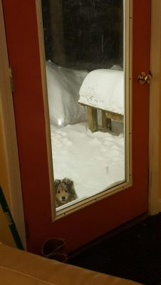 Sheltie at door